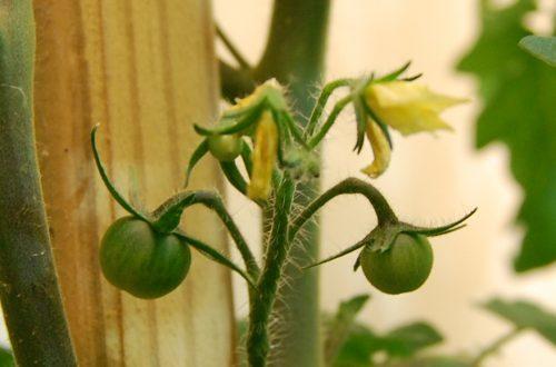 Pomidorų auginimas
