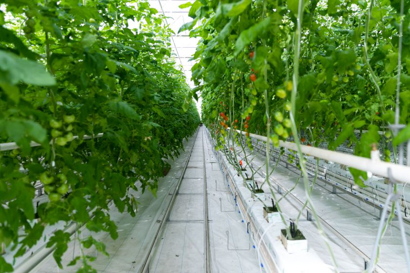 """17 rūšių pomidorų į parduotuves tiekianti """"Kietaviškių gausa"""" prisijungė prie šalies ekonomikos skatinimo"""