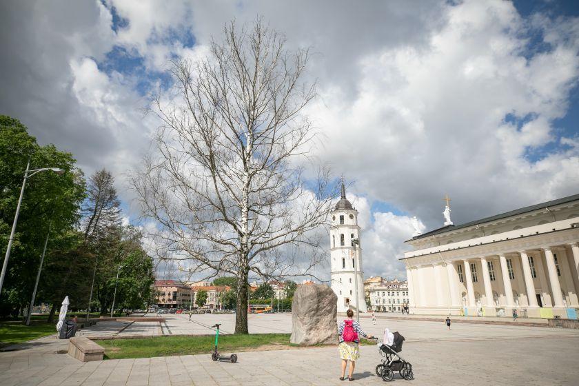 Katedros aikštės beržui ieškoma pamaina: gyventojai kviečiami išrinktinaują medį