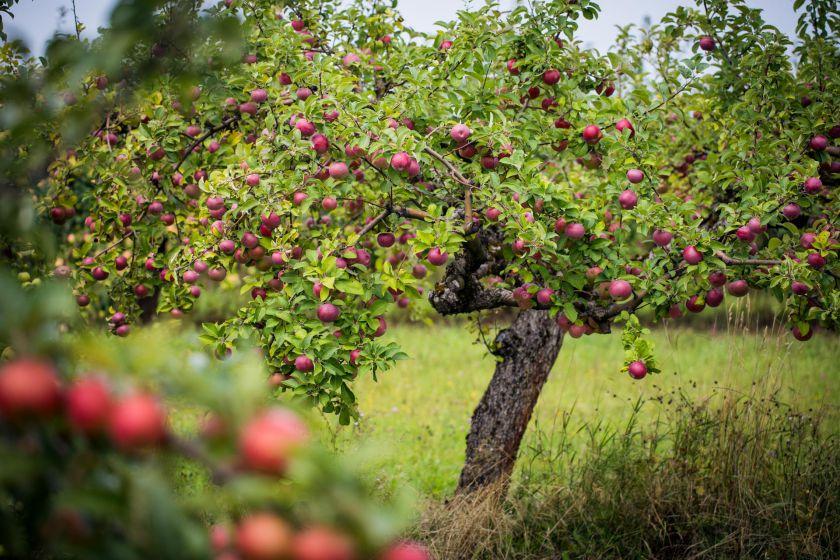 """""""Anykščių vynas"""" ruošiasi obuolių derliaus supirkimo sezono startui: pristato patogias naujoves ir ieško darbuotojų"""