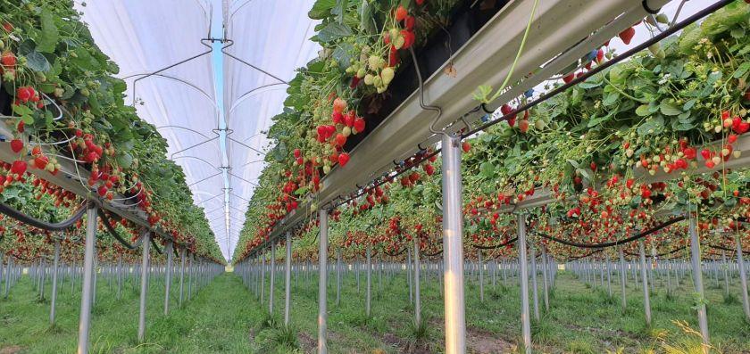 Iš vasaros braškių derliaus – ne tik uogienės: lietuviai atrado džiovinimą šalčiu